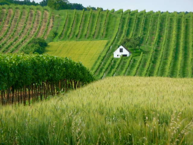 Rolling Vineyards and Grain Fields